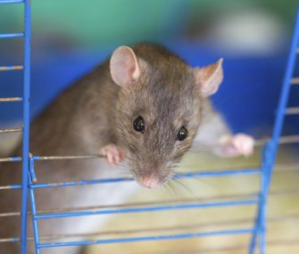 Pet rat in cage