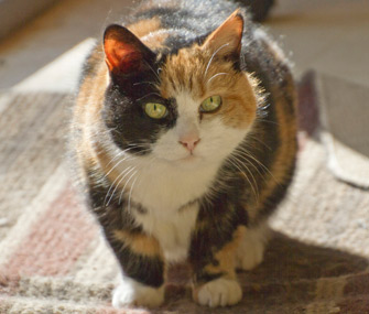 Older calico cat