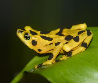 golden frog on leaf