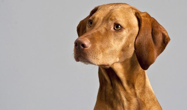 vizsla dog breed information. Black Bedroom Furniture Sets. Home Design Ideas