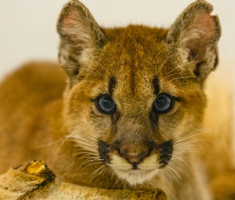 A brother and sister pair of orphaned puma kittens has moved in at the Minnesota Zoo.