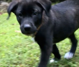 A black Lab puppy who was cruelly left in a trash bag was saved by a Good Samaritan.