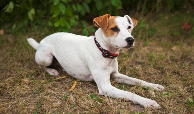 Easy Steps For Grooming Your Jack Russell Dog's Ears