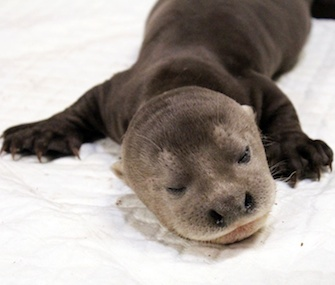 An endangered giant river otter pup was born in Asia in August.