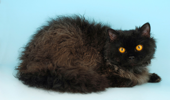 Selkirk Rex Cat Breed Information
