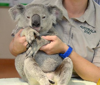 Timberwolf the koala is recovering at the Australia Zoo after a wild freeway ride.