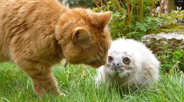 Huwi the owlet gets a visit from Arnie the cat at Linton Zoo.