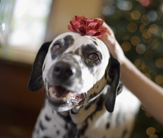 Dog wearing holiday bow