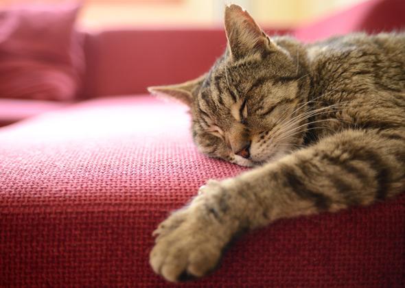 cat sleeping on couch thinkstockphotos 491761762 590