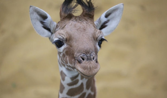 Whipsnade Zoo Giraffe Calf