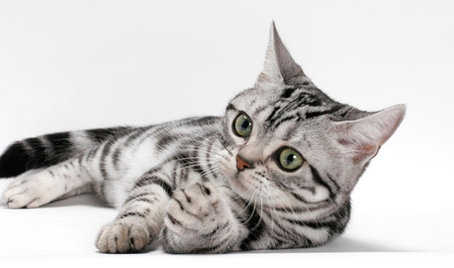 American Shorthair Cat Breed Information