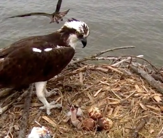 The first of the osprey chicks hatched on Sunday.