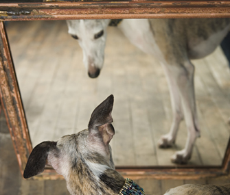 Dog looking at reflection in the mirror