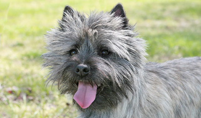 How big will a cairn terrier get