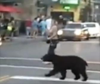 A black bear crosses the road in downtown Gatlinburg, Tenn.