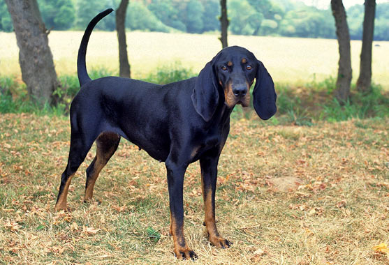 Black and Tan Coonhound Dog Breed Information - photo#3