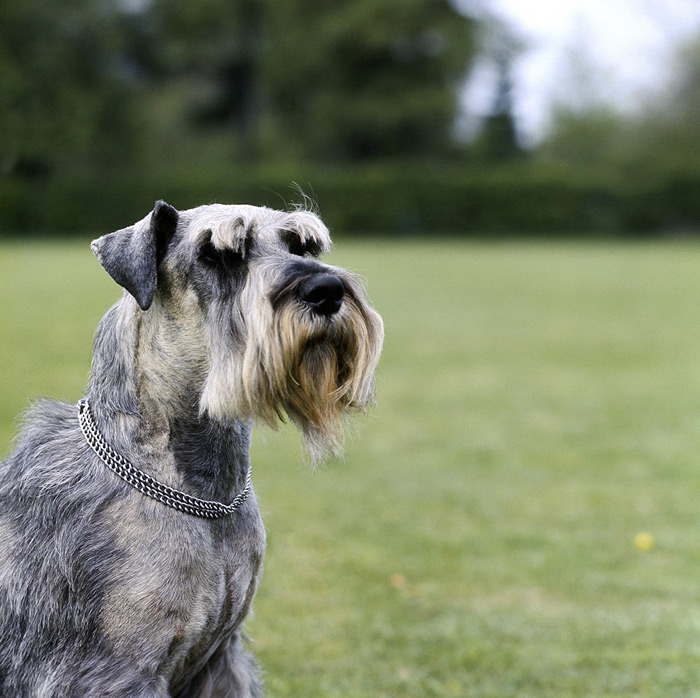 Standard Schnauzer Dog Breed Information