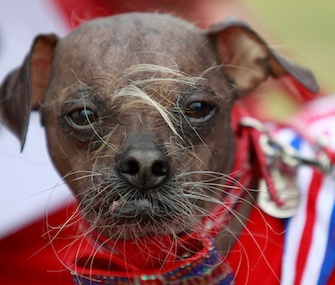 Mugly, a Chinese-Crested from England, won the title in 2012.