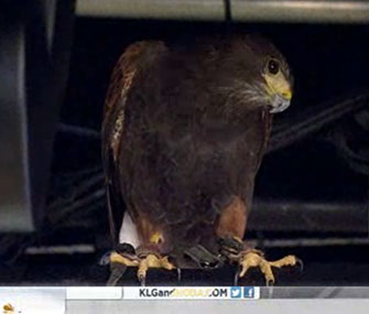 A Harris' hawk hides above the Today show's Studio 1A.