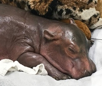 Fiona, who's 1 week old, is getting round-the-clock care at the Cincinnati Zoo.