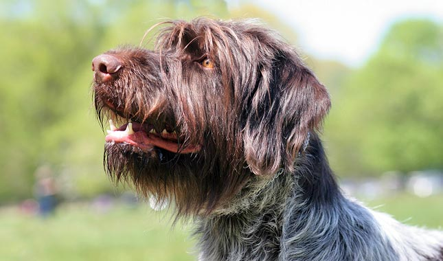 Wire Haired Hunting Dog | Wirehaired Pointing Griffon Dog Breed Information