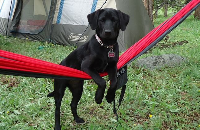 Miley the black Lab mix at a campsite