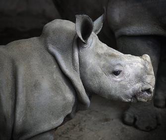 Dubai's Al Ain Zoo named its newborn southern white rhino after Nola, one of the world's last northern white rhinos.