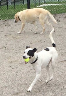 Hank with tennis ball at dog park
