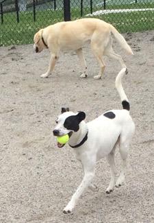Hank with tennis ball at dog park