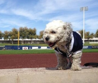 The Milwaukee Brewers quickly fell in love with Hank, a stray dog who wandered onto their playing field during spring training.