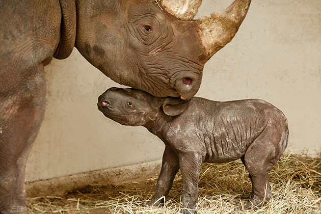 A baby black rhino gets a kiss from her mom at the Pittsburgh Zoo.