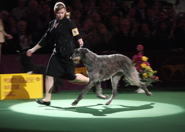 Westminster Dog Show 2016 Best In Show