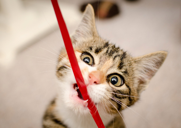 kitten chewing ribbon istock 000018962294 jpg