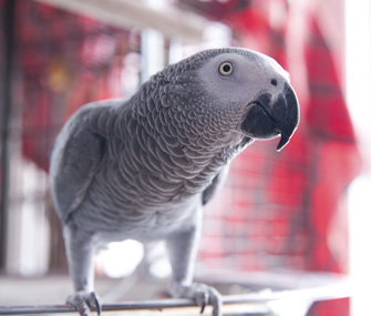 African gray parrot portrait