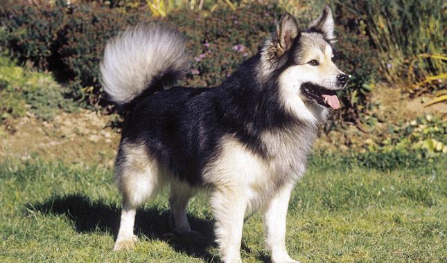 Popular Icelandic Sheepdog Canine Adorable Dog - Icelandic-Sheepdog-AP-FNLPNO-645sm5814  You Should Have_188284  .jpg
