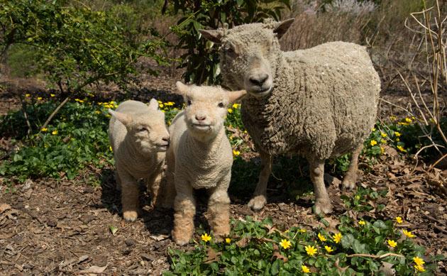 Baby Doll Lambs Prospect Park Zoo