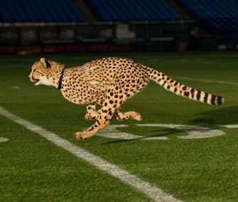 Cheetah on Tropicana Field