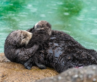 A wild sea otter pup was born in the protected basin of the Monterey Bay Aquarium.