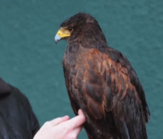 Rufus the Wimbledon hawk was returned to his owner after being stolen last week.