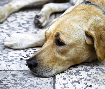 What You Need To Know About Recurrent Urinary Tract Infections In Dogs