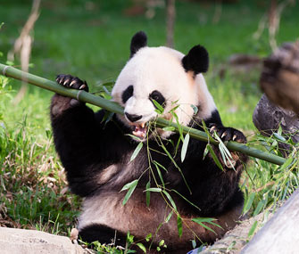 Mei Xiang May Be Expecting