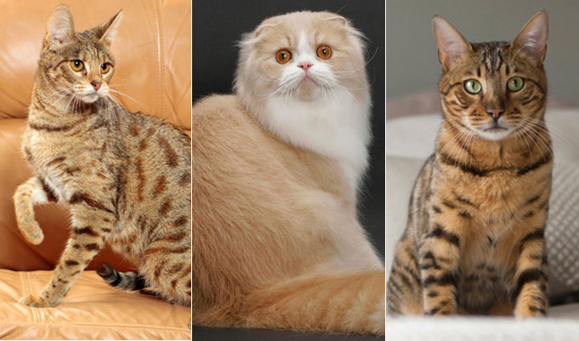 Savannah , Scottish Fold and Bengal cat breeds