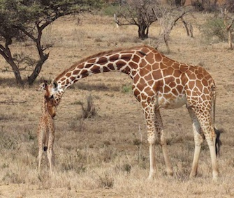 A team helps reunite a scared baby giraffe and her mom in Kenya.