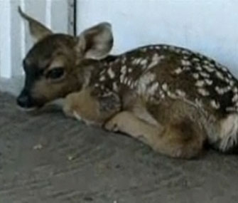 Newborn fawn on doorstep