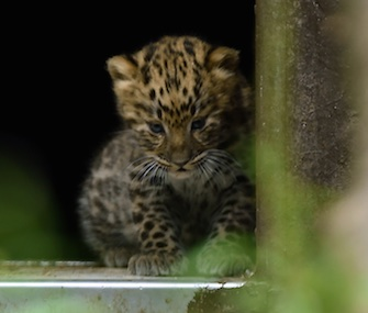 One of two Amur leopard cubs explores its surroundings at the Twycross Zoo in England.