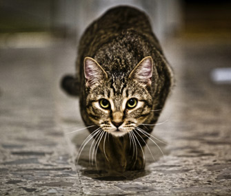 Cat ready to pounce