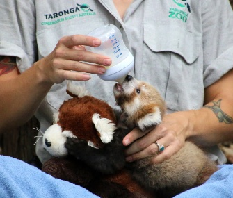 Maiya the red panda cub snuggles with a plush toy while being hand-reared after an injury.