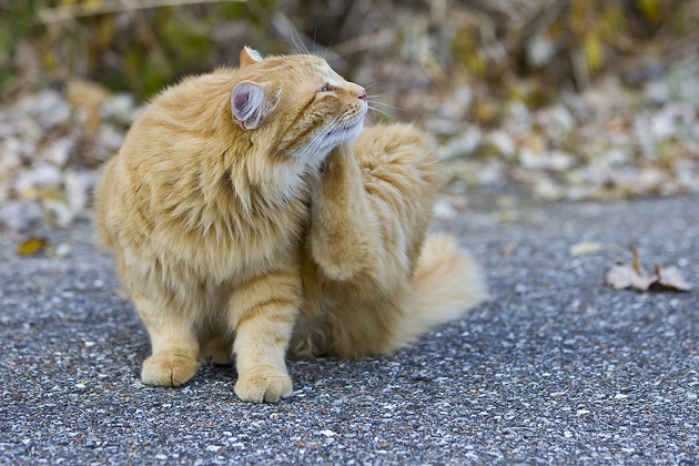 Cat itching