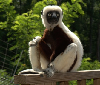 "Jovian, who starred in the PBS kids' show ""Zoboomafoo"" died at the Duke Lemur Center at age 20."