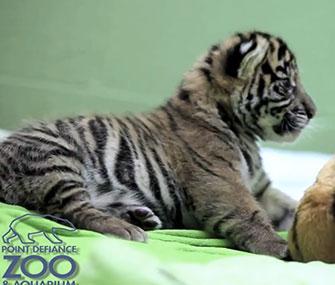 A Sumatran tiger cub makes his debut at the Point Defiance Zoo in Tacoma, Wash.